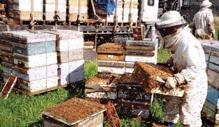 Пчеловодство как бизнес: с чего начать, как преуспеть