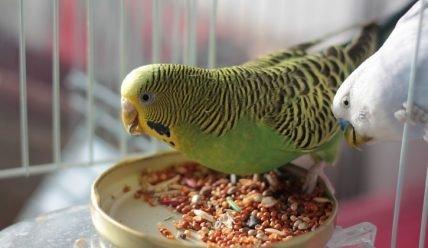 Разведение попугаев в домашних условиях как бизнес