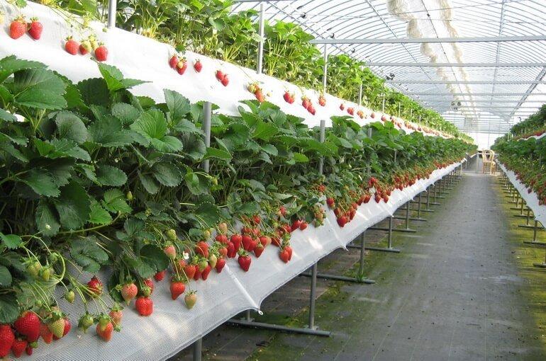 Выращивание клубники в теплице как бизнес