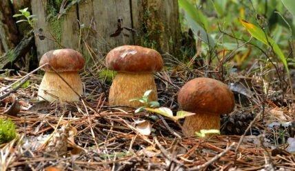 Выращивание белых грибов как бизнес: бизнес-план, рентабельность