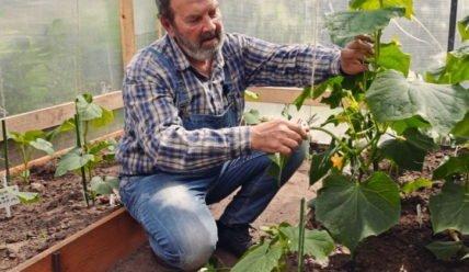Выращивание огурцов в теплице круглый год: бизнес-план с расчетами